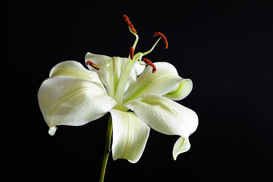 White amaryllis with black background by Lowell Monke