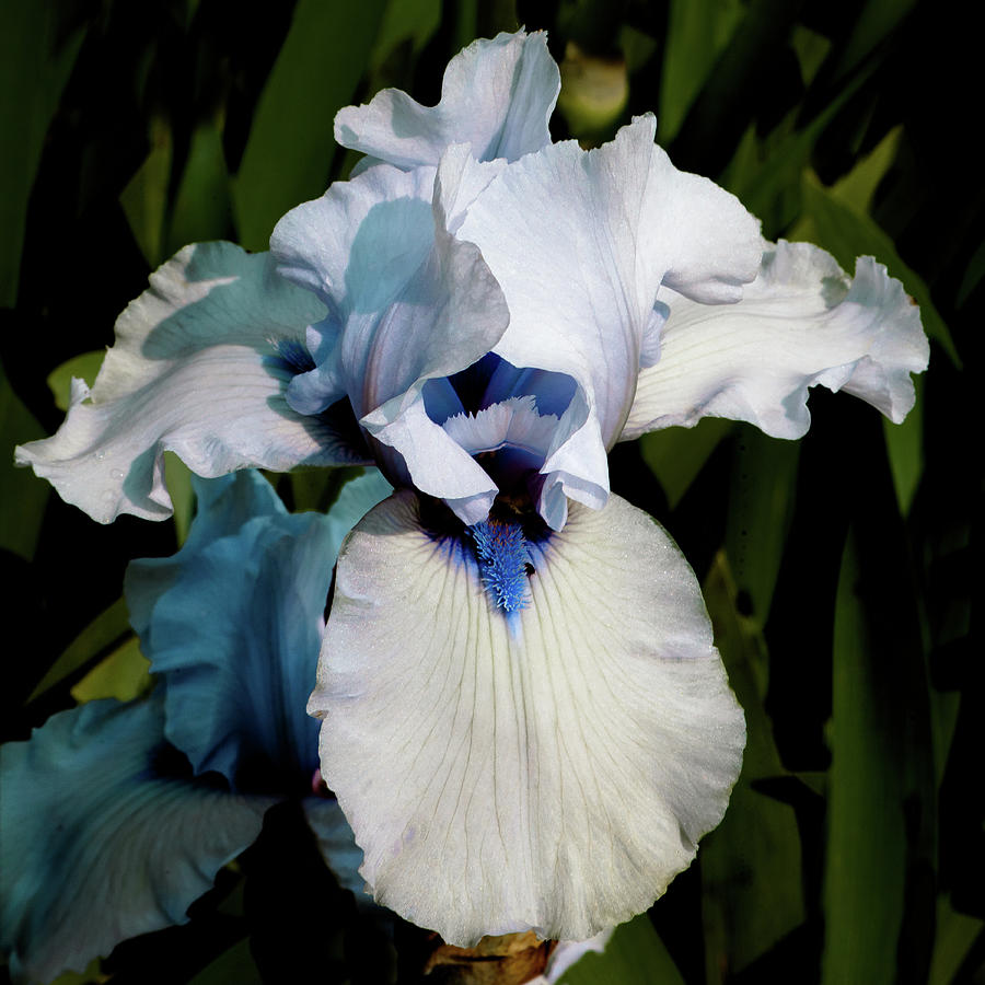 White and Blue Iris by David Patterson