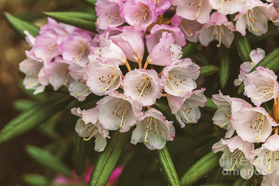 White and pink Rhodedendron flowers by Sophie McAulay