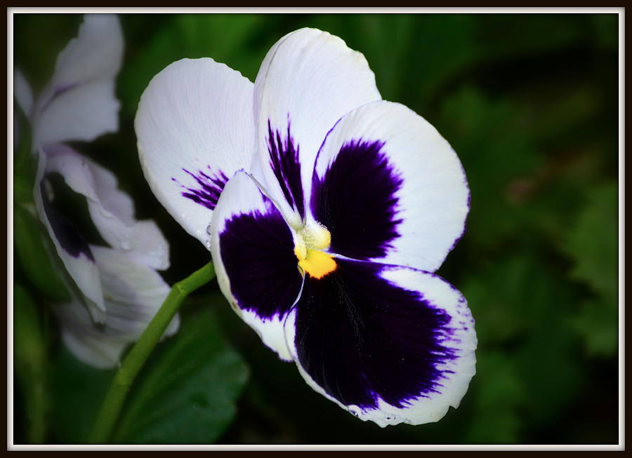 White And Purple Pansy Photograph