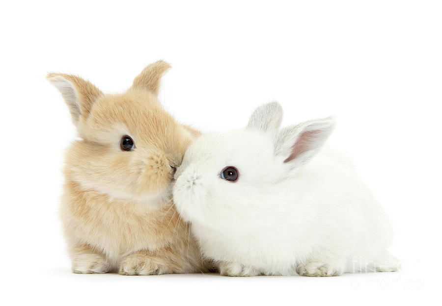 White and Sandy Love Bunnies by Warren Photographic