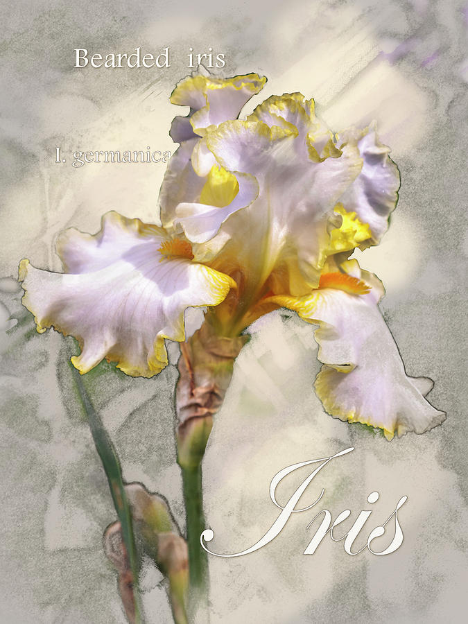 White and Yellow Iris Graphic by Mark Mille