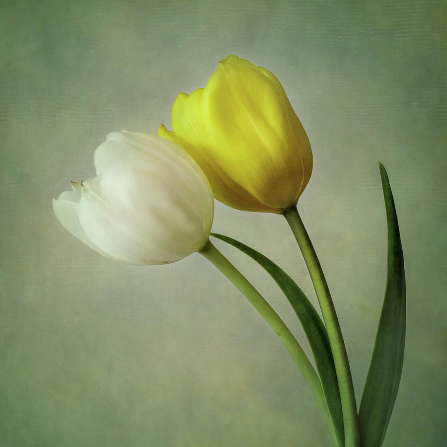 White and Yellow Tulips by David and Carol Kelly