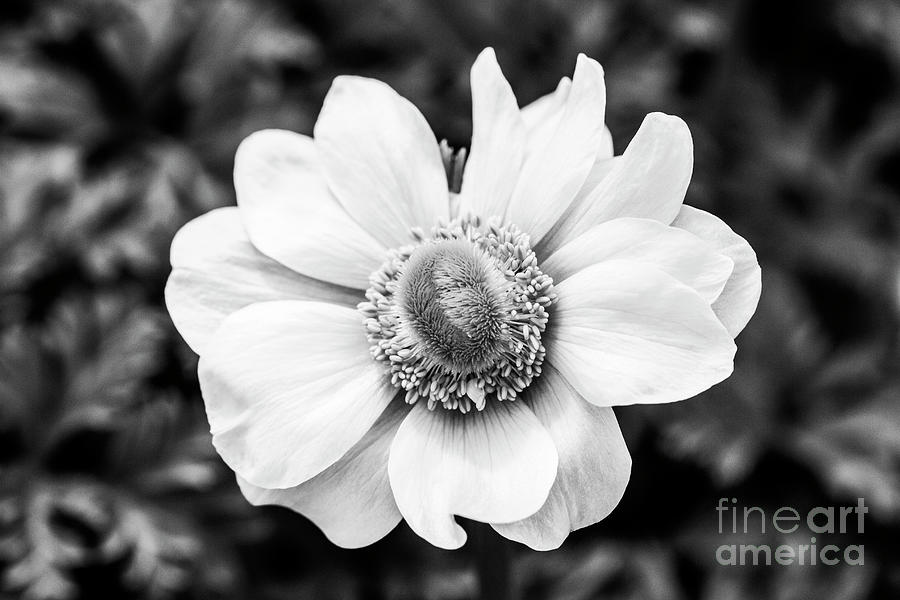 White Anemone  by Tanya C Smith