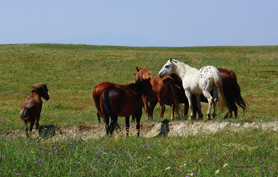 White Appaloosa, Blackfeet Ponies by Tracey Vivar