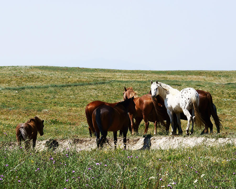 White Appaloosa Horse in a Brown Herd  by Tracey Vivar