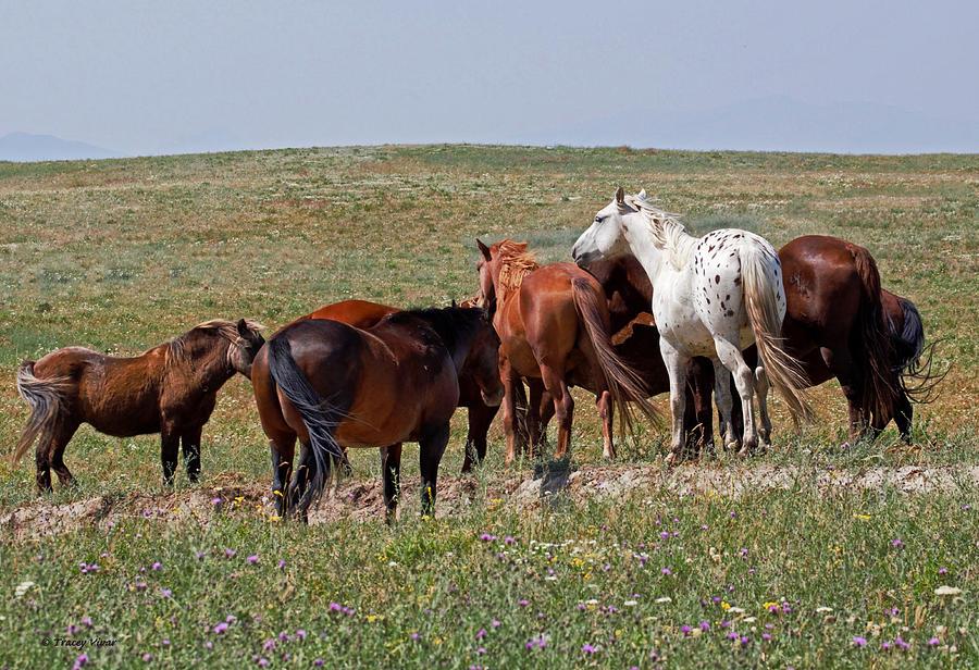 White Appaloosa in a Brown Herd by Tracey Vivar