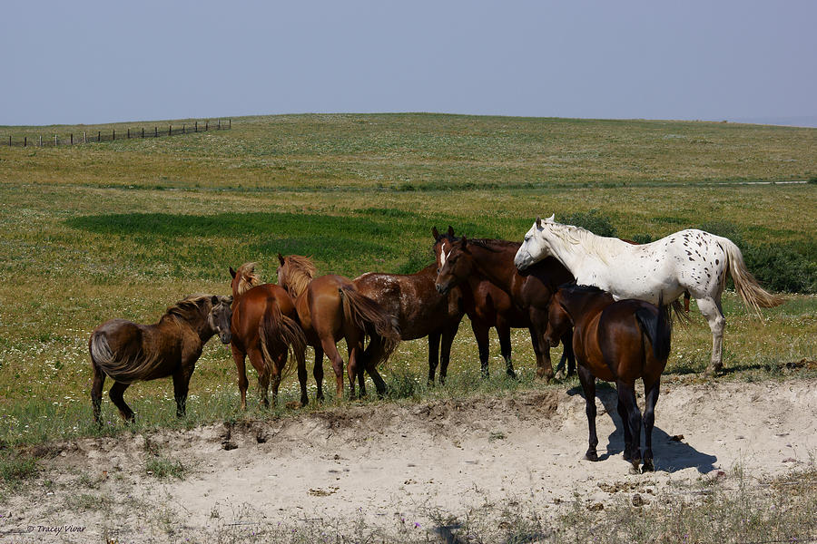 White Appaloosa with Brown Herd Mates by Tracey Vivar
