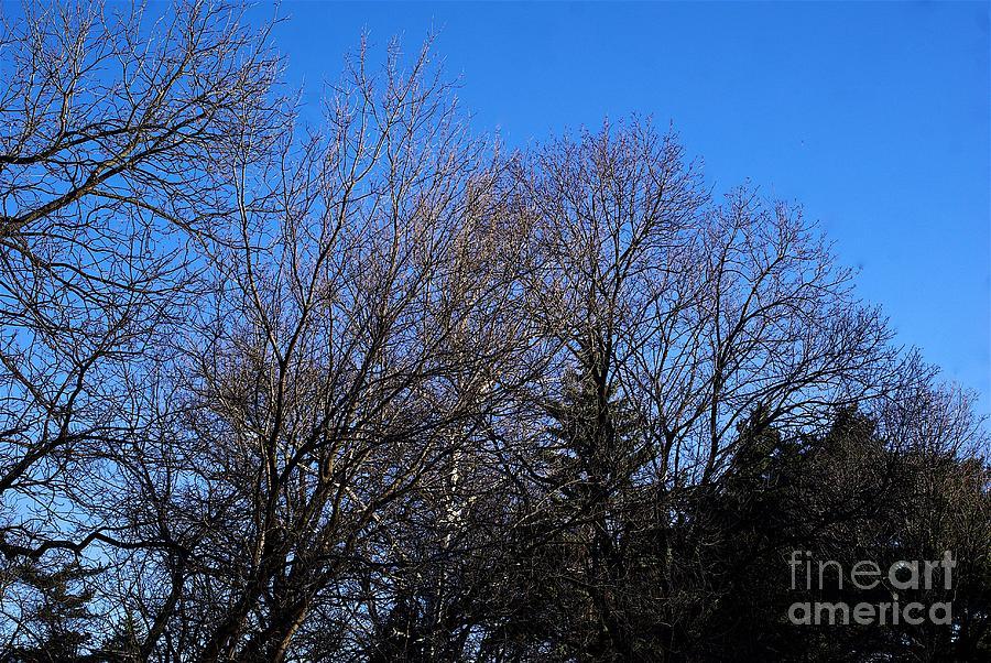 White Bark Through Trees Photograph