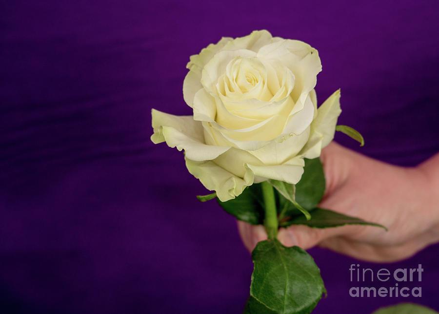 White Beauty on Purple by Annerose Walz