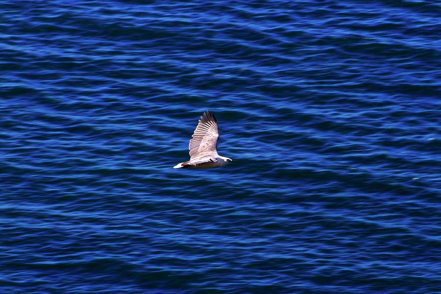 White Bellied Sea Eagle Of West Head by Miroslava Jurcik