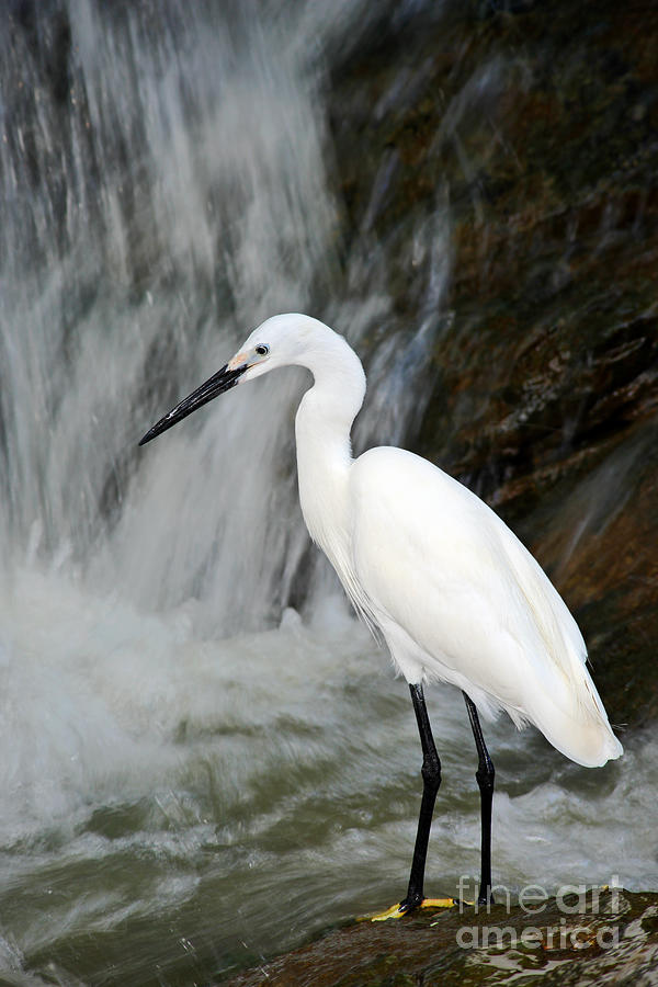 Egret Photograph - White Bird With Waterfall. Heron In The by Ondrej Prosicky