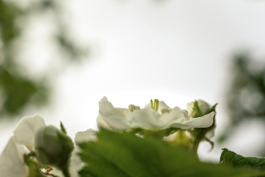 White Blossoms by Jeanette Fellows