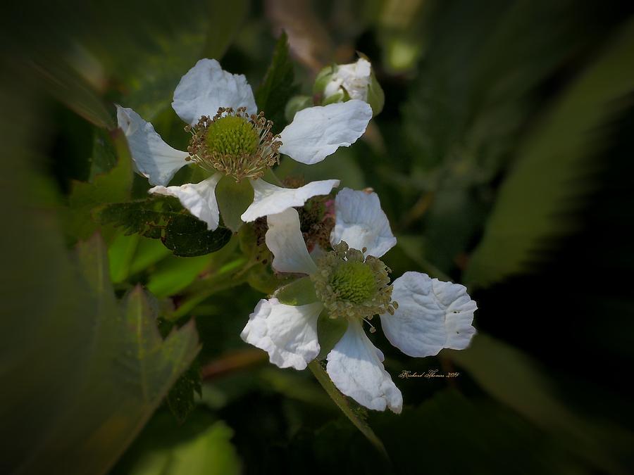 White Boysenberry Petals  by Richard Thomas
