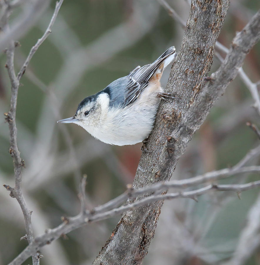White Breasted Nuthatch by Dan Sproul