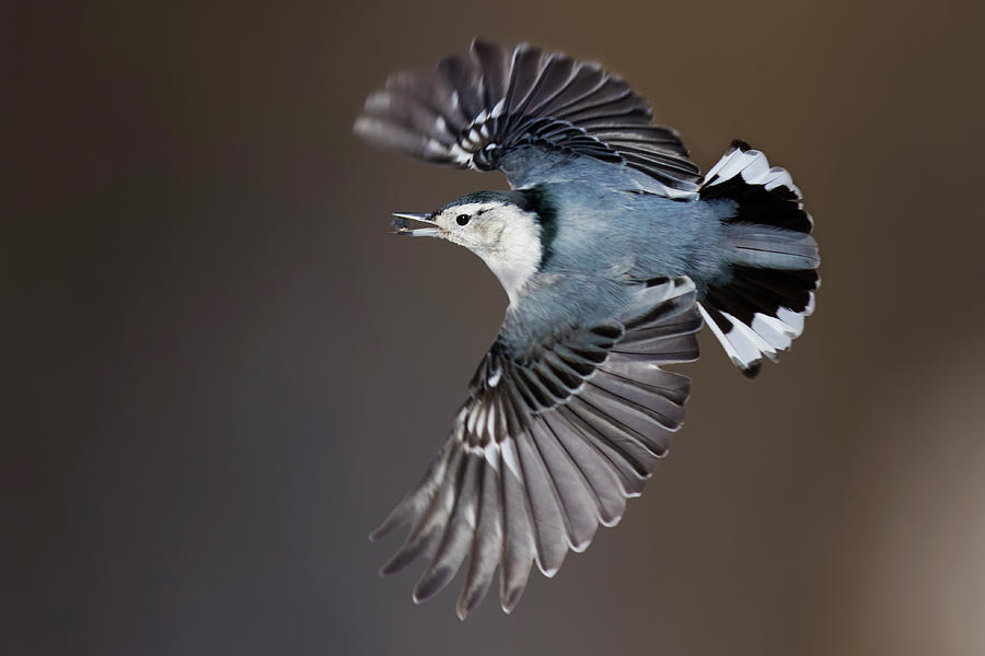 White Breasted Nuthatch In Flight Photograph By Mircea Costina Photography