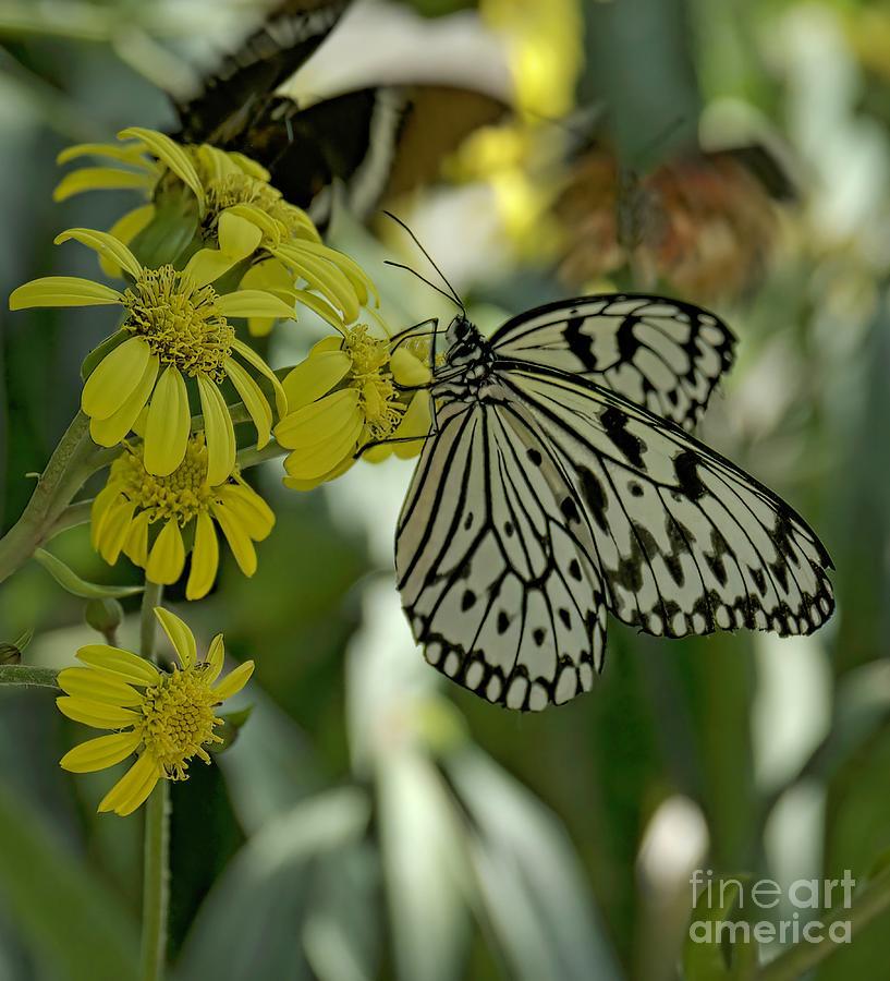 Americana Digital Art - White Butterfly by Elijah Knight