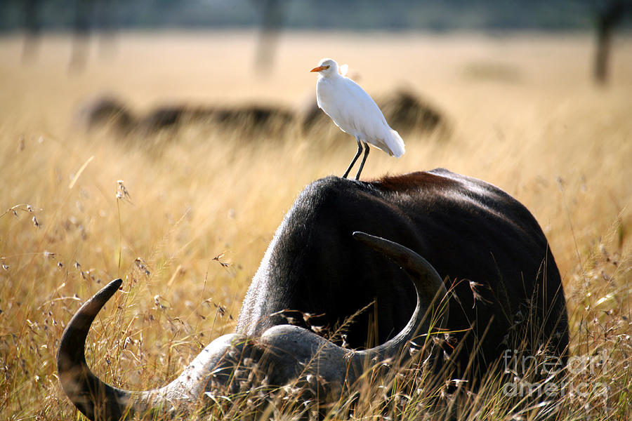 Egret Photograph - White Cattle Egret Hitching A Ride On by Paul Banton