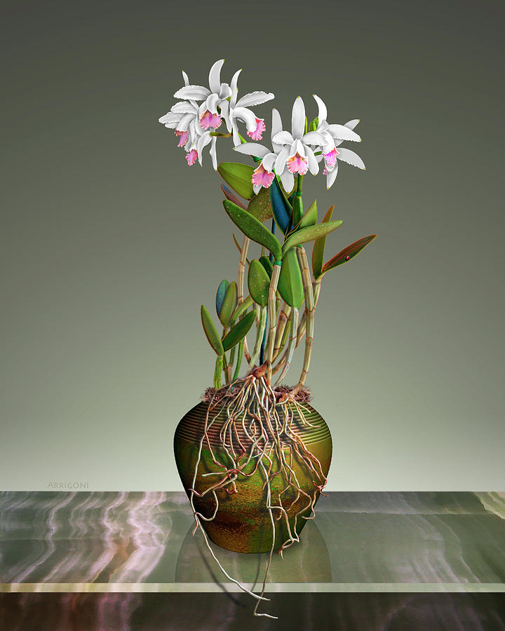 White Cattleya Orchids in Pot by David Arrigoni