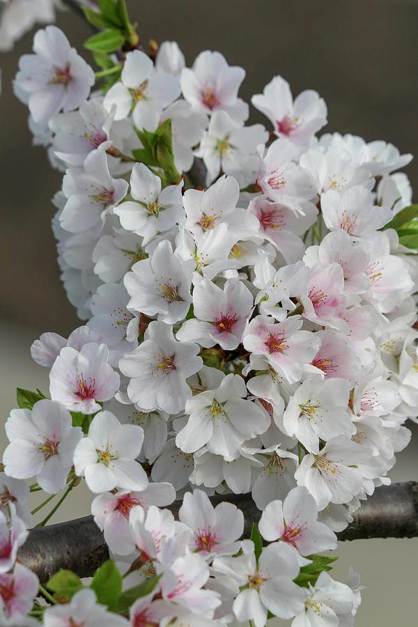 White Cherry Blossom 4 Photograph By Mary Anne Delgado