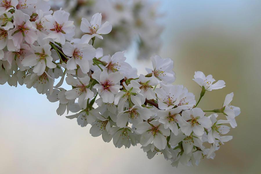 White Cherry Blossom 8 Photograph By Mary Anne Delgado