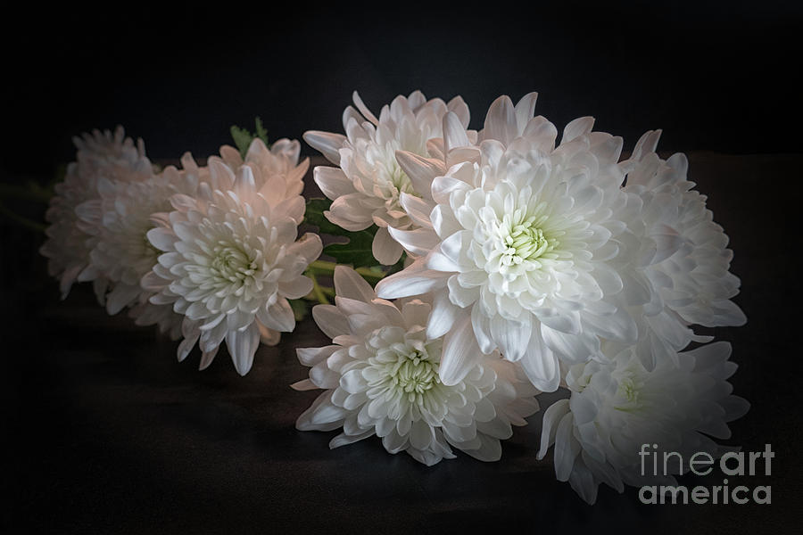 White Chrysanthemums Photograph