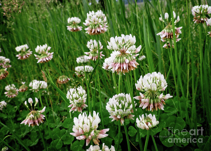 White Clover by Dee Flouton