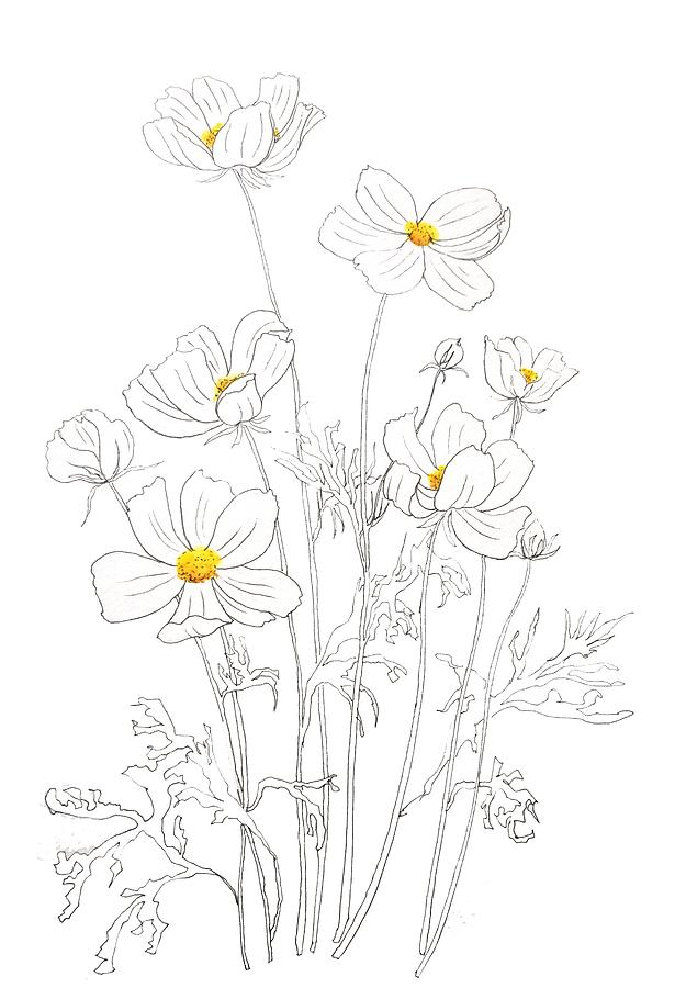 white cosmos flowers  ink and watercolor by Color Color