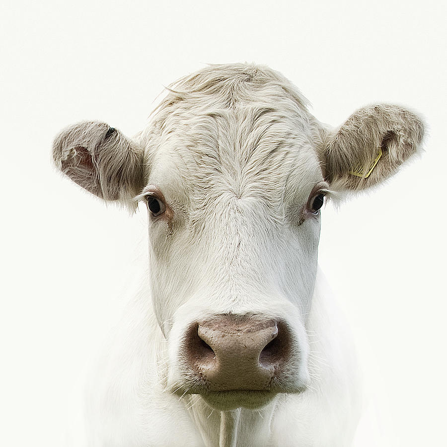 White Background Photograph - White Cow by Jojo1 Photography