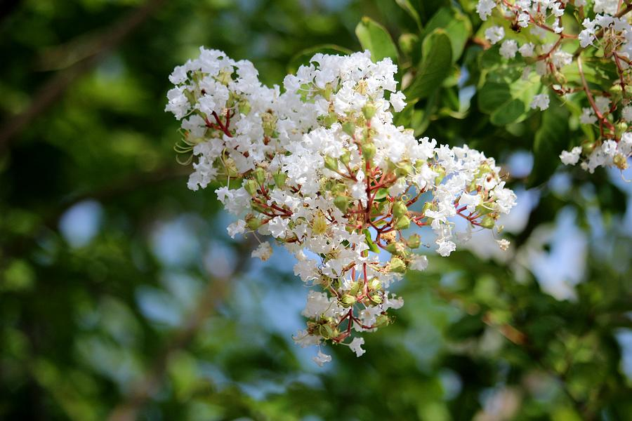 White Crape Myrtle Flowers by Cynthia Guinn