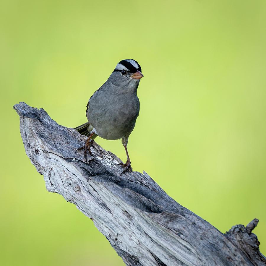 White Crowned Sparrow 1 by David Heilman