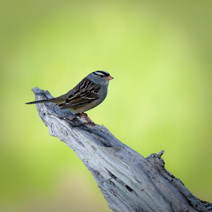 White crowned sparrow 2 by David Heilman