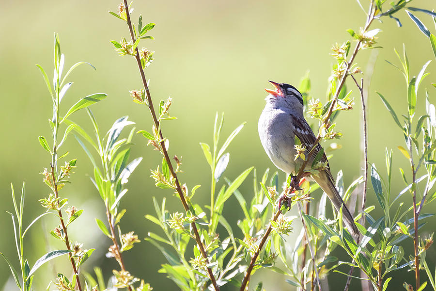White Crowned Sparrow 2 by Michael Chatt