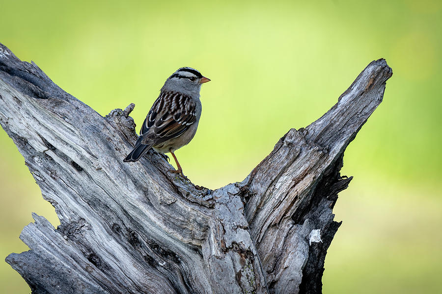 White crowned sparrow 3 by David Heilman