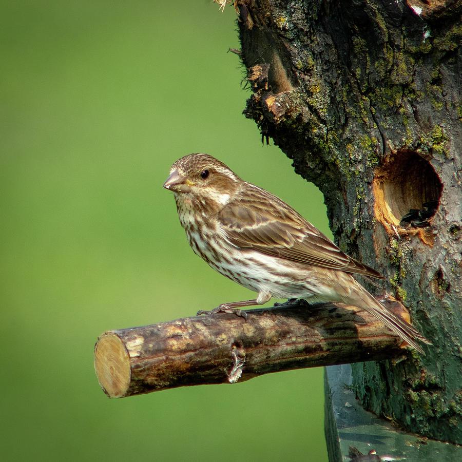 White Crowned Sparrow by David Heilman