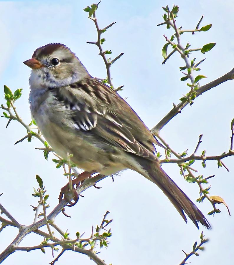White-Crowned Sparrow on Creosote by Judy Kennedy