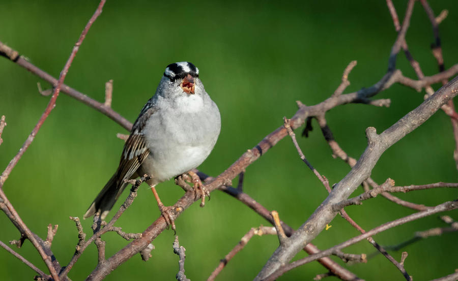 White-crowned Sparrow Singing  by Ricky L Jones