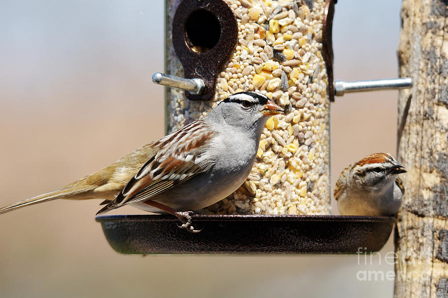 Plumage Photograph - White-crowned Sparrow Zonotrichia by Sylvie Bouchard