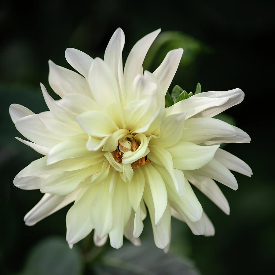 White Dahlia Beauty by Dale Kincaid