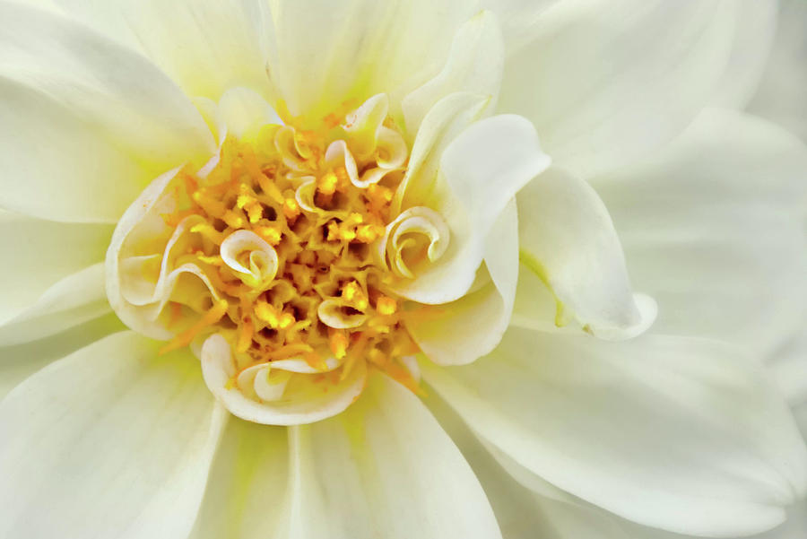 White Dahlia Curls by Mary Jo Allen