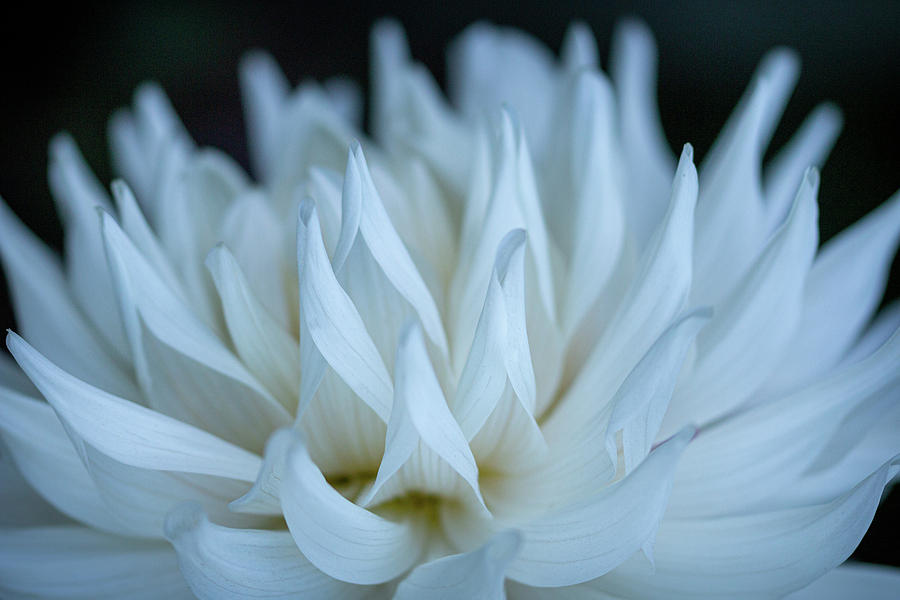 White Dahlia Dance by TL Wilson Photography by Teresa Wilson