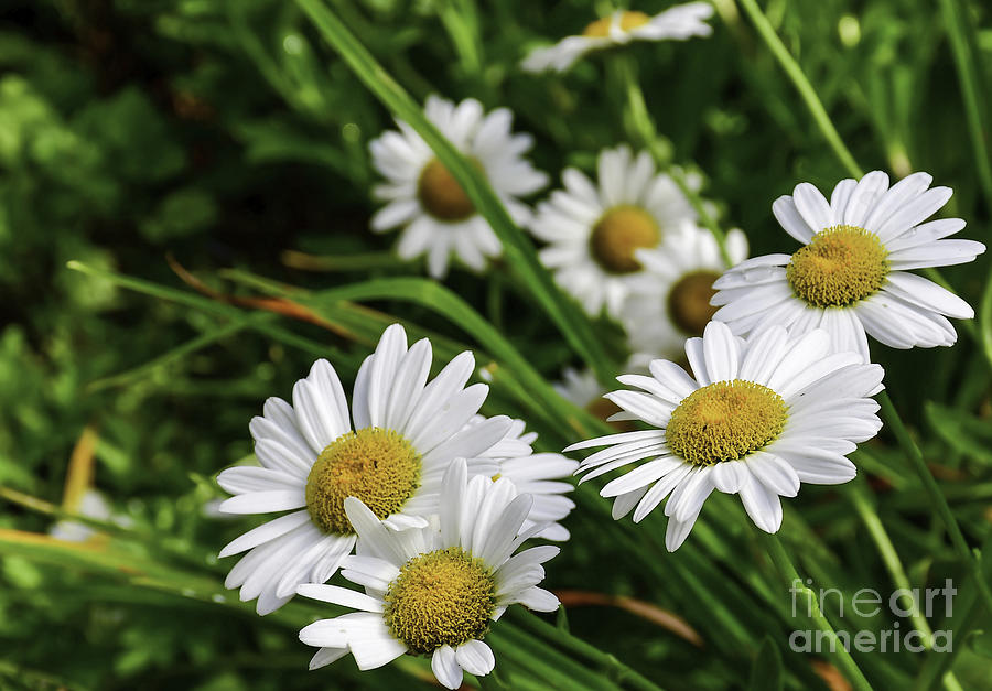 White Daisies by Diana Mary Sharpton