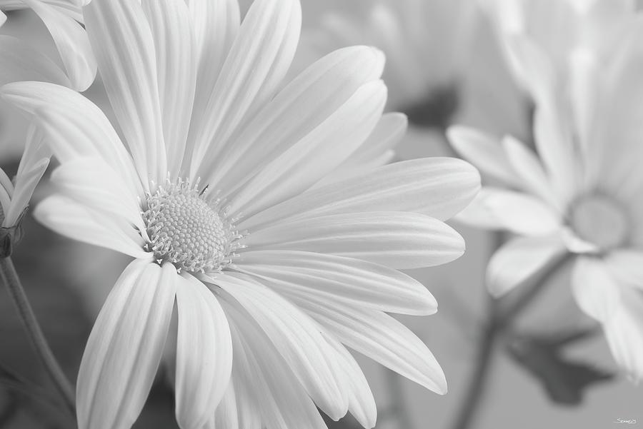 Flower Photograph - White Daisy B&w-07 by Gordon Semmens