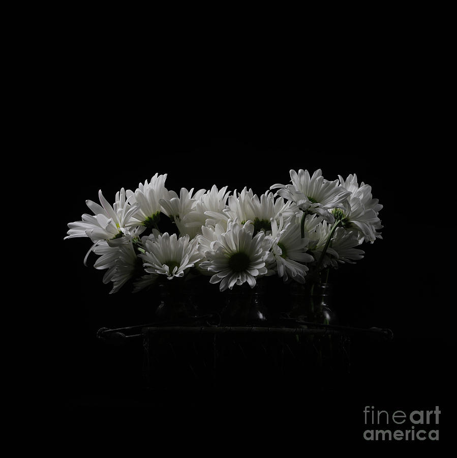 White Daisy Flowers Black Background Photograph By Edward Fielding