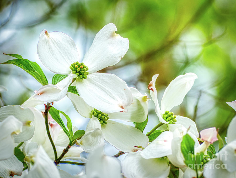 White Dogwood Blossoms Photograph By Amy Dundon