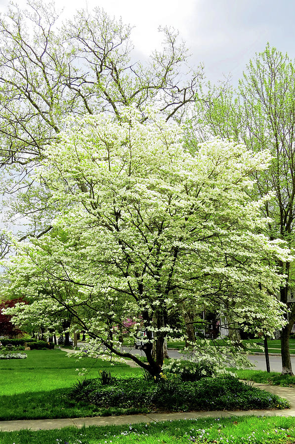 White Dogwood Tree In Spring Photograph By Linda Stern