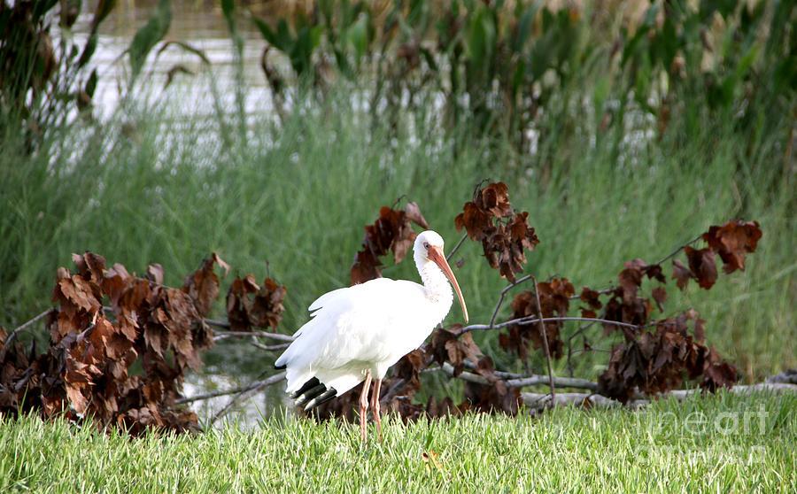 White Ibis Bird Posing in Grassland by Philip and Robbie Bracco