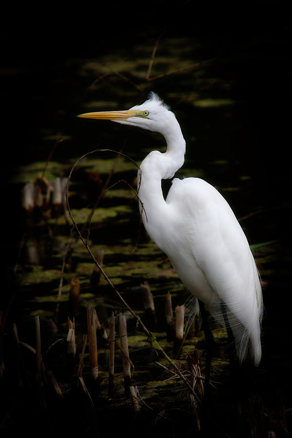 White Egret by Diana Haronis