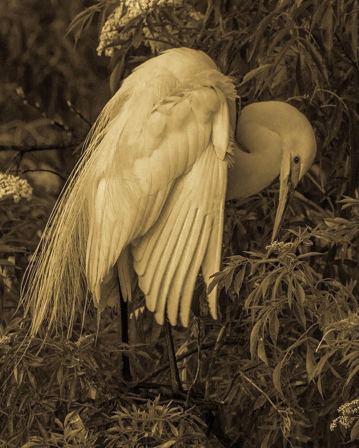 White Egret in Tree by Dorothy Cunningham