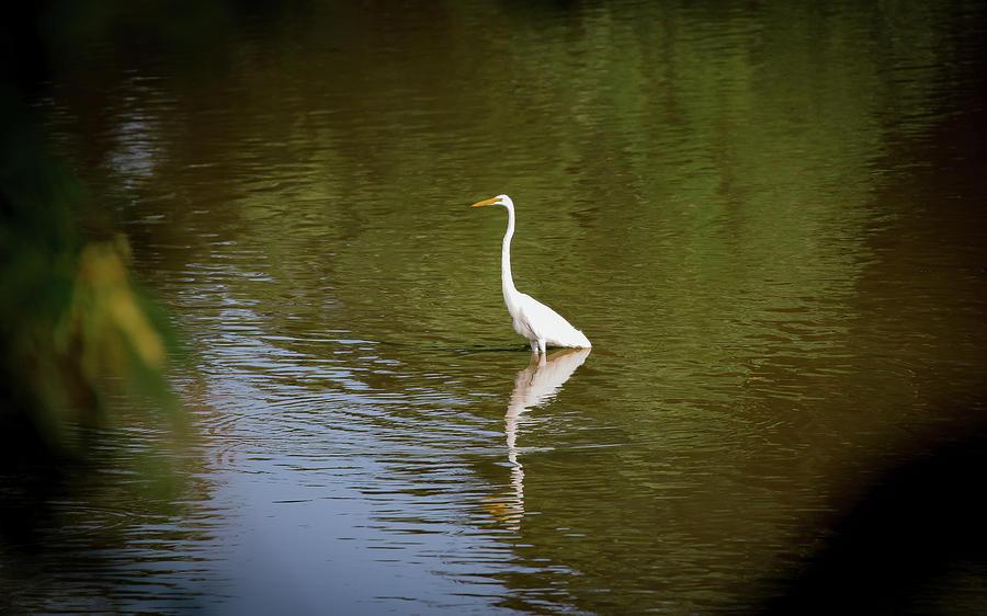White Egret in Water by Lora J Wilson